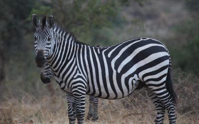 Mid-range Safari