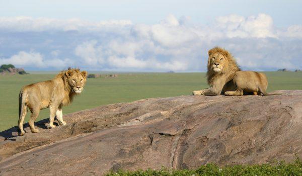 lion sere3